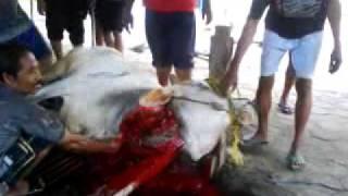 pemotongan hewan kurban 2009 yogyakarta