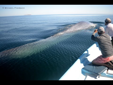 BIGGEST Real Living Animal EVER Recorded in the Ocean- Blue Whale