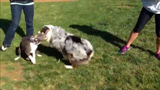 Funny Australian Shepherd Videos | Funny Animals
