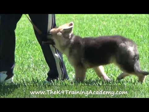 Diesel a German Shepherd Puppy with Basic Obedience