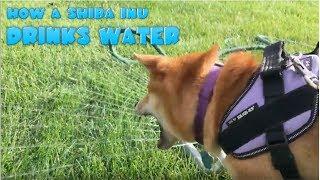 How a Shiba Inu Drinks Water