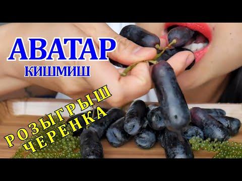 ВИНОГРАД АВАТАР КИШМИШ /GRAPES AVATAR KISHMISH, SAPPHIRE