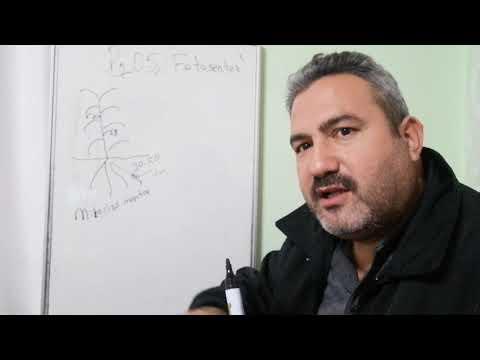 Fosfor, Fosfor Kaynakları, Mikoriza Mantar Ve Homeostatik Etki