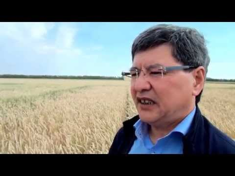 Сроки посева и созревание яровой пшеницы в Северном Казахстане