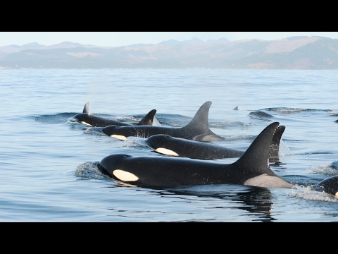 Recovering the Southern Resident Killer Whale with Research and Conservation