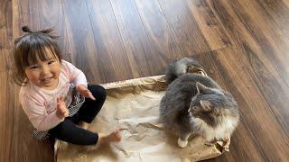 米袋の争奪戦に勝利する猫 ノルウェージャンフォレストキャットA cat that wins the battle for rice bags. Norwegian Forest Cat.