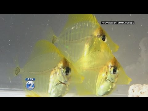 Hawaii Researchers First To Successfully Breed, Rear Yellow Tang Aquarium Fish