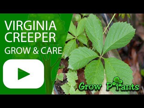 Virginia creeper - grow & care (Parthenocissus quinquefolia)