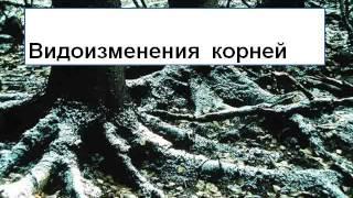 Презентация Виды корней  Типы корневой системы