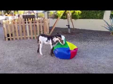 Baby miniature donkey plays with bean bag [Cute animals doing funny things] cutest animals ever
