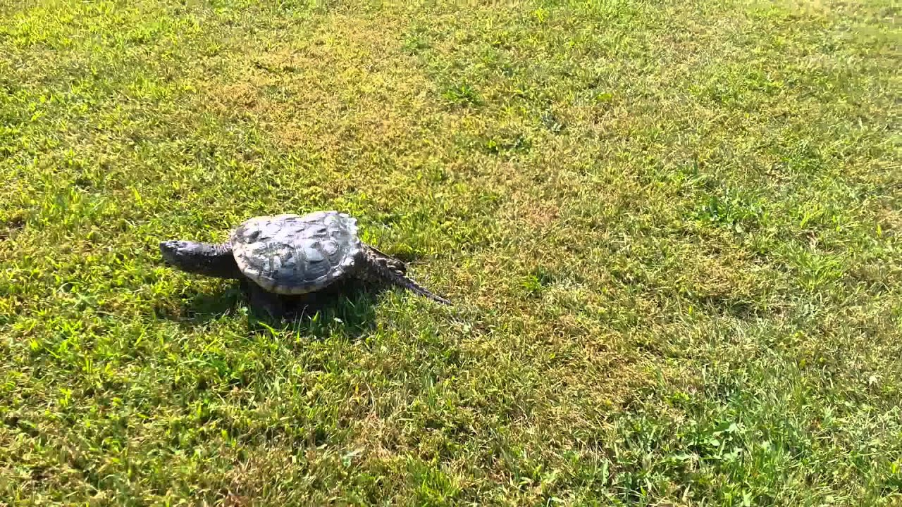 R Turtles Good Pets Pet common snapping tu...