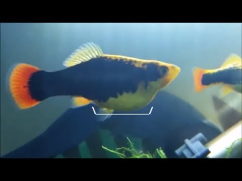 How To Know If Female Platy Is Pregnant And When To Use A Breeding Box