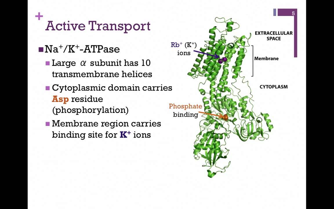 064 Primary Secondary Active Transport Youtube