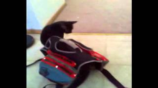 Raven Cat Tries To Wear Service Dog Training Gear Part 2