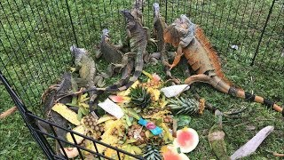 Iguana hunting Challenge! How many can we Catch?