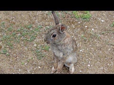 Oryctolagus cuniculus - Kaninchen, Rabbit