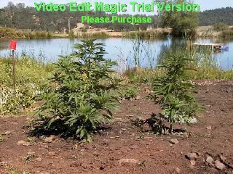 Mendocino County; Marijuana Capital of the USA!!