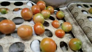 Tomato Packing Process - Meet the daddy farmer Henry Oakley!