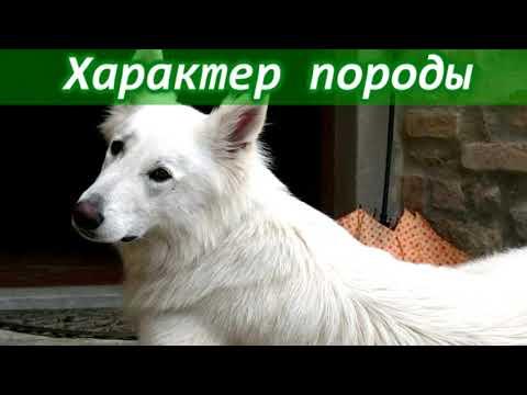 Белая швейцарская овчарка - описание породы собак