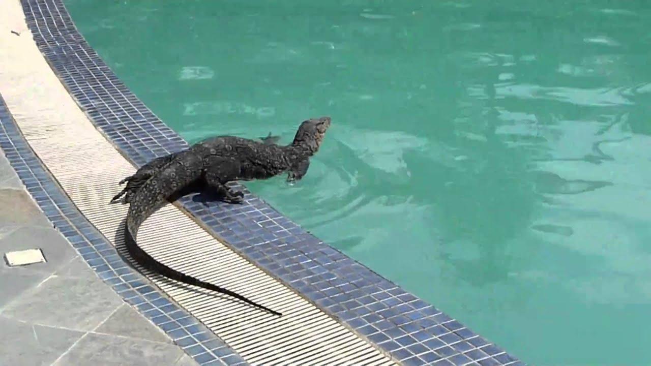 Perhentian Swimming Pool Monitor Lizard HUGE