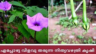 എപ്പോഴും വിളവ് തരുന്ന പരിചരണം വളരെ കുറച്ചു മാത്രം വേണ്ട ചച്ചക്കറി|നിത്യവഴുതന കൃഷി|nithya vazhudana