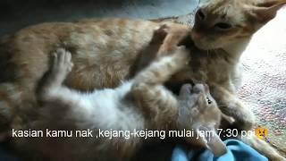 drh. Risa Isna F - Menyelamatkan Kucing Lily Kejang Karena Eklampsia.