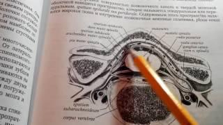 4 4 Оболочки спинного мозга  Межоболочные пространства  Фиксирующий аппарат