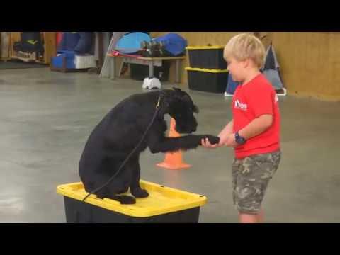 "Beautiful Giant Schnauzer ""Yasmine"" 16 Mo's Obedience Kids Adults Super Dog For Sale"