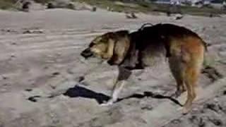 Three Legged Dog Jerry Digs The North Carolina Beach