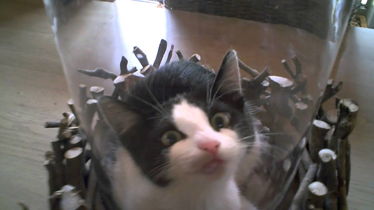 Cat in a glass vase youtube cat in a glass vase reviewsmspy