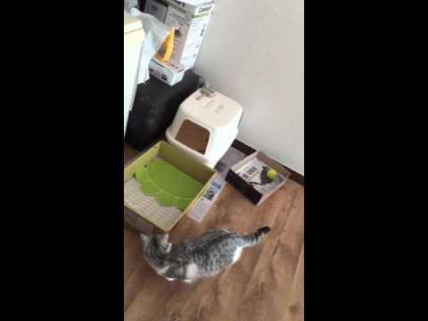 [베리] 파리를 사냥하는 고양이(스코티쉬스트레이트)