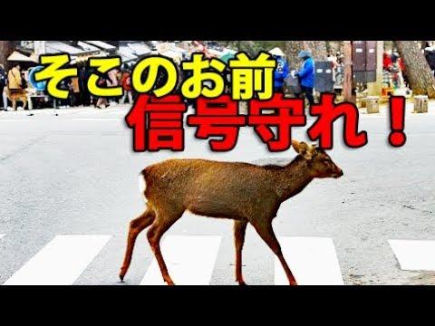 奈良公園でシカを叱りつけてきました