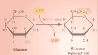 Glycolysis - 1 The Preparatory/Investment Phase
