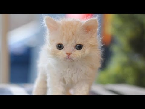 Selkirk Rex Kitten Will Make You Feel Good