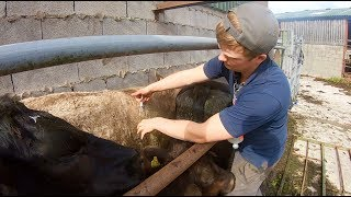 how-to-worm-cattle-the-farmers-way
