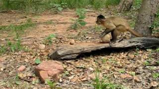 Capuchin Monkey Nut Cracking Tool Use