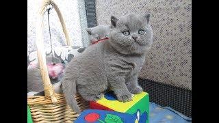 Британские голубые котята онлайн