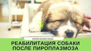 Восстановление собаки после пироплазмоза. Реабилитация.
