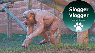 Fighting 'Naked' Chimpanzees