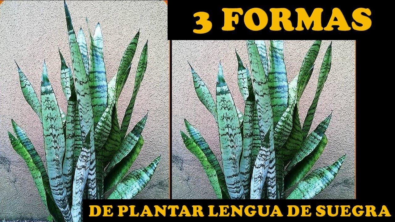 Cuidados Y Reproduccion Plantas Lengua De Suegra Sansevieriaespada