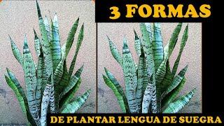 Cuidados y Reproduccion Plantas Lengua de Suegra |Sansevieria|Espada de San Jorge