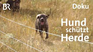 Wolf in Bayern gesichtet Hunde schtzen Herde  Zwischen Spessart und Karwendel  Doku  BR