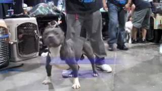 BLUE LINES TANK JR. EXTRA LARGE BLUE NOSE AMERICAN BULLY
