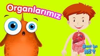 İç Organlarımız | Okul Öncesi Eğitici Animasyon | Anne Bu Ne?
