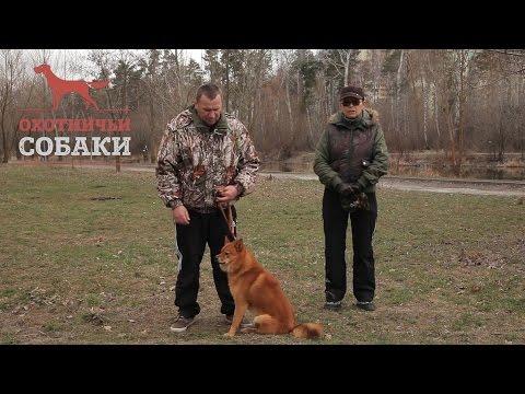 Охотничьи собаки. 18 серия. Карело-финская лайка