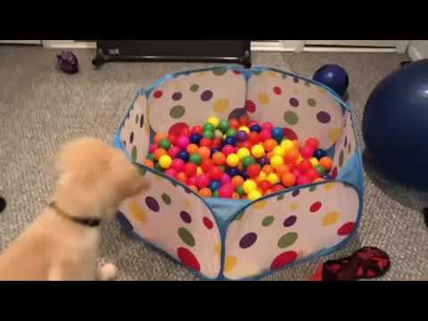 Funniest & Cutest Golden Retriever Puppies #10 – Funny Puppy Videos 2019