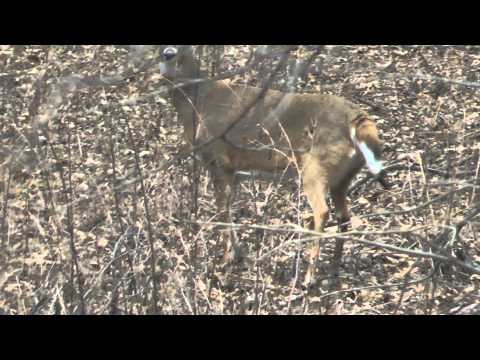 Busted by Whitetail Deer video. Doe Flags and Stomps warnings. Fishing for movement. Young bucks.