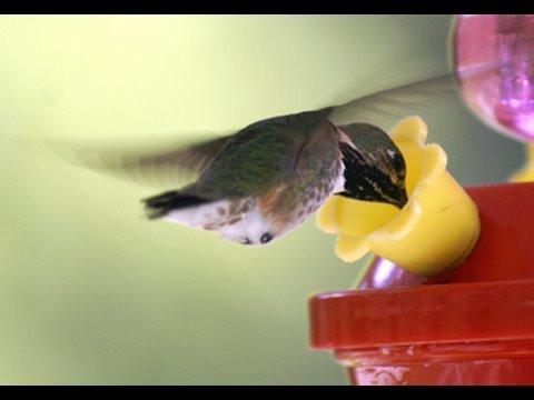 World's smallest bird - Bee Humming bird