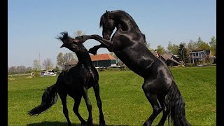 Friesian Horse, Stallions/colts Meet Each Other In The Field 😍🥊