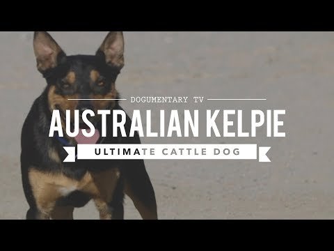 ALL ABOUT WORKING AUSTRALIAN KELPIES